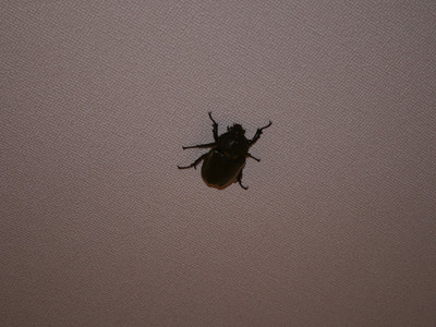 20140629_beetle3
